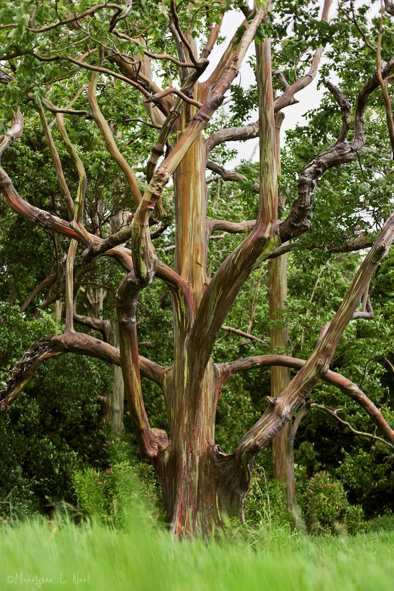The Rainbow Eucalyptus