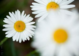 california_flowers_by_madelynne_nehl_04