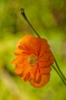 california_flowers_by_madelynne_nehl_07