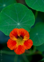 california_flowers_by_madelynne_nehl_11