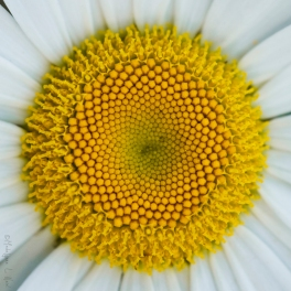 california_flowers_by_madelynne_nehl_12