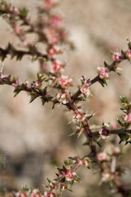 california_flowers_by_madelynne_nehl_17