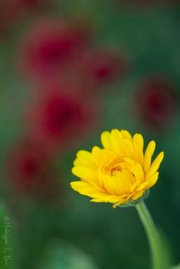 california_flowers_by_madelynne_nehl_18