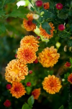 california_flowers_by_madelynne_nehl_22