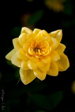 california_flowers_by_madelynne_nehl_24